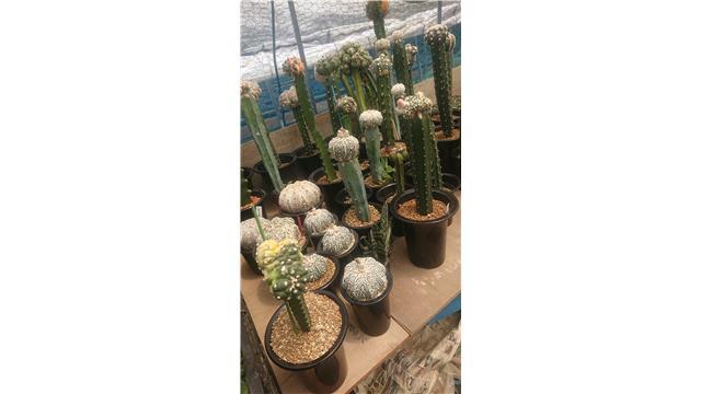 サボテン 多肉植物専門店 gran cactus グランカクタス